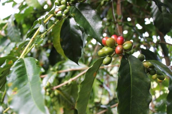 Kaffee-Beeren